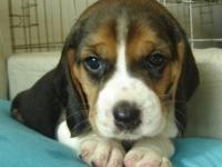 深圳出售纯种比格幼犬宠物狗纯种比格幼犬比格幼犬米格鲁猎兔犬