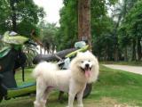 家养爱狗成年萨摩耶出售佛山禅城