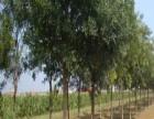 商洛10公分樱花树价格多少钱一棵