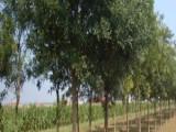 四平20公分法桐树价格 一级树价格