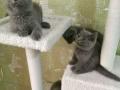蓝猫加菲布偶暹罗英短美短银渐层,泰迪柯基拉布拉多金毛哈士奇比