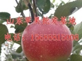 山东红星苹果批发商供应客商所要求的货源质量及数量,发车准时,