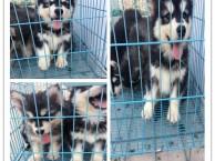 深圳阿拉斯加一只多少钱 深圳哪里有狗卖 深圳宠物市场