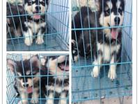 杭州哪里狗卖,纯种金毛多少钱,纯种阿拉多少钱