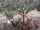 苏州西山玉兴农家包吃包住包接送採橘子石榴