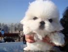 长沙哪有京巴犬卖 长沙京巴犬价格 长沙京巴犬多少钱