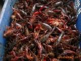 《高产小龙虾杂交品种》、虾种、虾苗、小龙虾种苗基地