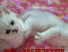 广州家庭繁殖纯种猫中心 英短、蓝白、美短