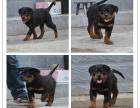 本地犬舍出售纯种罗威纳 双血统带证书