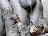 供应太湖母猪、二元仔猪、苗猪种猪小母猪