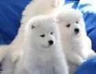 成都哪里有萨摩耶犬出售 萨摩价格是好多 萨摩耶图片