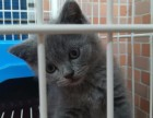 家庭式繁育英短蓝猫公母都有,3个月左右,疫苗打齐,可上门看猫