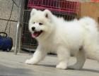 重庆出售萨摩价格 重庆哪里出售纯种萨摩狗 重庆卖萨摩犬