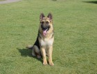 犬舍专业养殖德牧犬 出售纯种德牧 包健康 品相好 可签协议