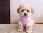 本地犬舍直销 纯种泰迪幼犬 颜色齐全 健康品质保障