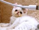 超萌纯种波斯猫觅主。