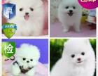 成都宠物狗出售 纯种 哈士奇雪橇犬 幼犬 公母均有