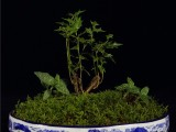 秦嶺野生蕙蘭 春蘭 杜鵑下映山紅下山樁 七里香多種野生花卉