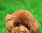 成年可爱家养公贵宾犬泰迪熊