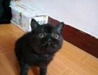 纯黑一线加菲弟弟1800 猫咪价格以标题价格为准