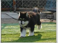 出售纯种阿拉斯加幼犬 纯种血统 品相** 健康质保