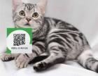 济南哪里有宠物猫出售,济南哪里有卖纯种虎斑猫价格