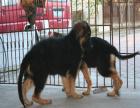 黑背幼犬多少钱 哪里能买到黑背