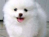 专业狗场繁殖 纯种博美犬 包建康三年,售后签协议
