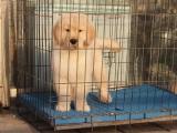 迷人的小金毛犬来带走啦 非常不错的小宝宝