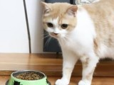 蕪湖便宜賣 英短 加菲 金吉拉 矮腳波斯 貓折耳貓