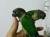 出售小太阳幼鸟 和尚鹦鹉 亚历山大鹦鹉 吸蜜鹦鹉 越南鹩哥