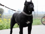 双血统卡斯罗,自家犬舍繁殖,保健康包纯种,可送货