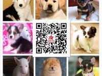 广东退伍兵犬舍专业繁殖各种高品质世界名犬品种繁多欢迎上门选狗