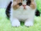 长短毛加菲猫 英短 美短 布偶猫出窝咯 快来领回家