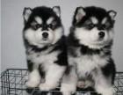 东莞出售阿拉斯加金毛可卡泰迪哈士奇萨摩耶秋田德牧等各种名犬