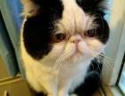 海口哪里有加菲猫卖 自家繁殖 品相极佳 多只可挑