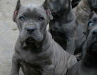 中国专业繁殖双血统卡斯罗犬舍 可以上门挑选