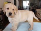西安本地犬舍出售拉布拉多幼犬 包健康包纯种签协议送用品
