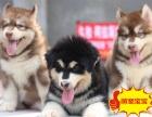 出售大骨量巨型熊版阿拉斯加幼犬 带证书 包纯种