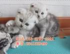 杭州哪卖纯种折耳猫便宜杭州宠物店折耳猫多少钱一只