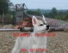 实物拍摄—精品哈士奇幼犬 保纯种健康 签终身质保协议