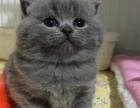 英短蓝猫 活波可爱 家庭式繁殖 有问题包退换