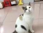 猫舍高品质英短低价打包出售