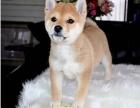 世界上最忠诚的犬出售纯种健康的柴犬幼犬活泼靓丽