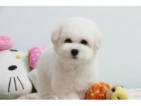 重庆出售超性感的 卷毛小比熊 公母均有 可爱的天使