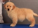 青岛纯种金毛犬大概多少钱在青岛什么地方能买到纯种金毛犬