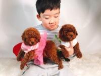 东莞高品质的泰迪比熊博美巴哥柯基法牛出售 疫苗做完 质量三包