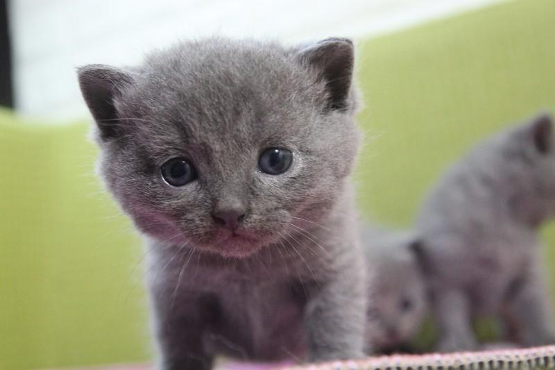 猫舍出售纯种蓝猫美短等可上门包健康! 双满月前预定有优惠