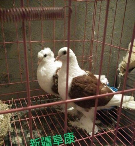 好鸽子便宜处理图片