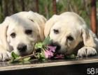 拉布拉多多少钱一只,CKU认证拉布拉多幼犬出售